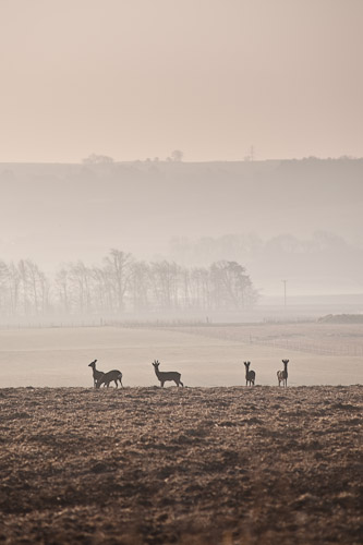 Deer at Dawn, Fife