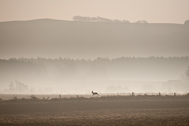 Deer Leaping at Dawn, Fife