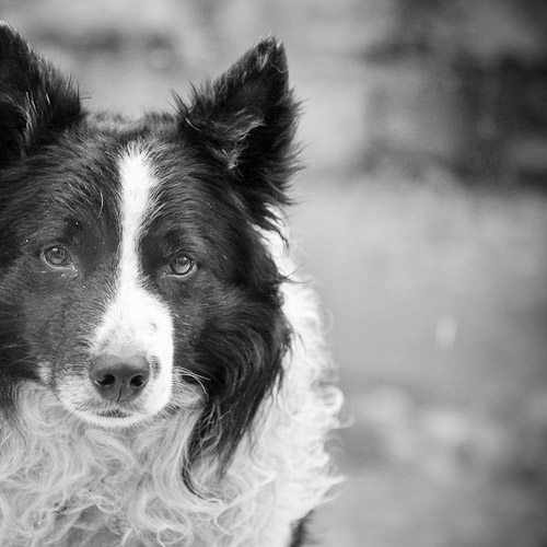 Border Collie Dog Portait